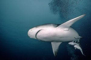 Bull Shark Diving Cancun